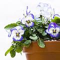Purple Swirl Violas by Anne Gilbert