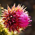 Purple Thistle by Catie Canetti