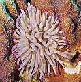 Purple Tip Anemone by Thomas Major