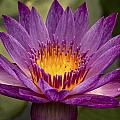 Purple Tropical Water Lily by Jean Noren