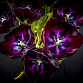 Purple Tulips 2 by Calazone's Flics