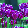 Purple Tulips by Allen Beatty