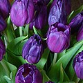 Purple Tulips by Carol Lynch