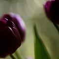 Purple Tulips Dream by Katy Jane Conlin