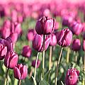 Purple Tulip Standouts by Carol Groenen