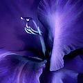 Purple Velvet Gladiolus Flower by Jennie Marie Schell