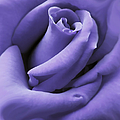 Purple Velvet Rose Flower by Jennie Marie Schell