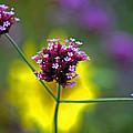Purple Verbena Flowers by Karen Adams