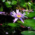 Purple Water Lilly by Peggy Franz