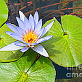 Purple Water Lily In Pond. by Jamie Pham