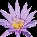 Purple Water Lily by Kim Hojnacki
