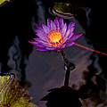 Purple Water Lily by  Patton Imagery