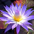 Purple Waterlily With Fall Lilypads by Debra Orlean