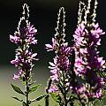 Purple Wild Flowers - 1 by Kenny Glotfelty