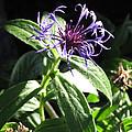 Purple Wildflower by Laurel Powell