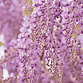 Purple Wisteria by Ginger Wagner