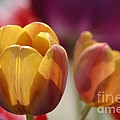 Purpleyellowtulips7016 by Gary Gingrich Galleries
