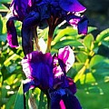 Purplr Iris Shines by Al Fritz