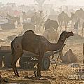 Pushkar Camel Fair - India by Luciano Mortula