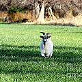 Pygmy Goat by Krista Wimmer