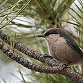 Pygmy Nuthatch by Cascade Colors