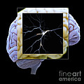 Pyramidal Neuron And Brain by Science Picture Co