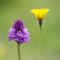 Pyramidal Orchid by Tim Gainey