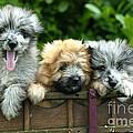 Pyrenean Sheepdogs by Jean-Michel Labat