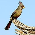 Pyrrhuloxia Cardinalis Sinuatus Female by Anthony Mercieca