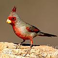 Pyrrhuloxia Cardinalis Sinuatus Male by Anthony Mercieca