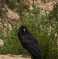 Qouth The Raven Nevermore by Kathleen Odenthal