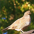Quail Look Out by Bobbee Rickard