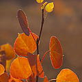 Quaking Aspen In Color   #3749 by J L Woody Wooden