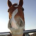 Quarter Horse Portrait Nosing Around by Lesa Fine