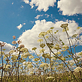 Queen Anne Lace And Sky by Jenny Rainbow