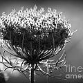 Queen Annes Lace - Bw by Kenny Glotfelty