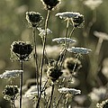 Queen Annes Lace - 1 by Kenny Glotfelty