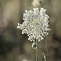 Queen Annes Lace - 3 by Kenny Glotfelty