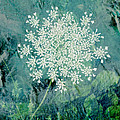 Queen Anne's Lace  by Ann Powell