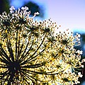 Queen Anne's Lace II by Diane Merkle
