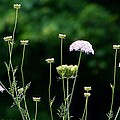 Queen Anne's Lace by Kathryn Meyer