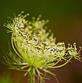 Queen Anne's Lace by Michael Cummings