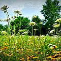 Queen Annes Lace Of The Butterfly Gardens Of Wisconsin by Carol Toepke