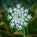 Queen Anne's Lace by Steve Harrington