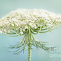 Queen Anne's Lace Wildflower by Onelia PGPhotography
