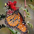 Queen Butterfly by Mariola Bitner