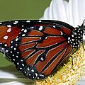 Queen Butterfly by Millard Sharp