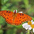 Queen Butterfly by Ronald Lutz