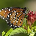 Queen Butterfly by Sean Allen