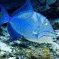 Queen Triggerfish by Jim Murphy